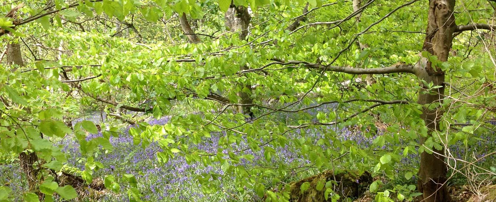 photo of bluebells in woodland in Yorkshire